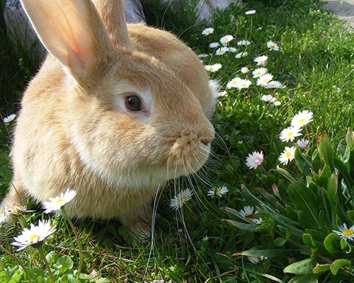 Devenir famille d'accueil pour lapins en association en ile-de-France