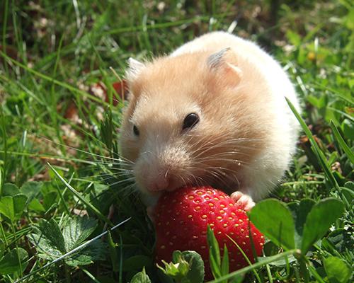 Adoption hamster association