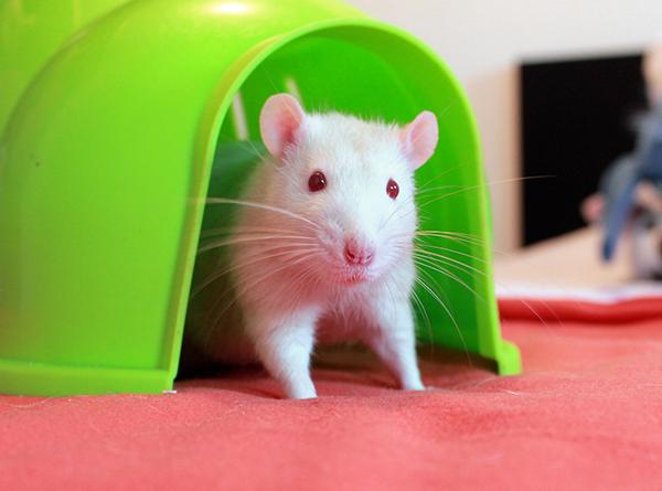 Avoir un rat comment s'en occuper ?