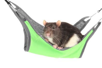 Les accessoires pour rats