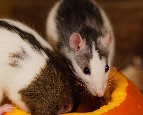 Adoption rats association