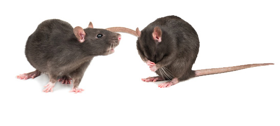 Mes rats se battent