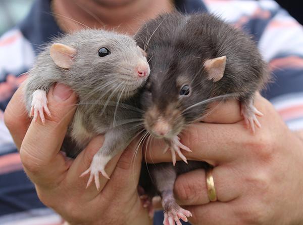 Intégrer un nouveau rat à une trouve